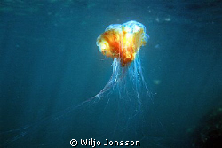 Giant jellyfish or Lion's mane jellyfish can be very big ... by Wiljo Jonsson 